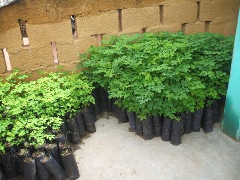 grow a moringa tree
